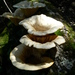 Funnel Woodcap - Photo (c) Jacques van der Merwe, some rights reserved (CC BY-SA)