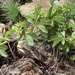 Cyphostemma lanigerum - Photo (c) Andrew Hankey, algunos derechos reservados (CC BY-SA)