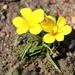 Moraea fugacissima - Photo (c) Marion Maclean, μερικά δικαιώματα διατηρούνται (CC BY-NC)