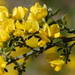 French Broom - Photo (c) Charles Stirton, some rights reserved (CC BY-SA)