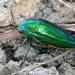 Sternocera aequisignata - Photo (c) Ian  Jacobs, μερικά δικαιώματα διατηρούνται (CC BY-NC)