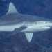 Grey Reef Shark - Photo (c) Mark Rosenstein, some rights reserved (CC BY-NC-SA)