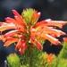 Erica grandiflora grandiflora - Photo (c) Tony Rebelo, μερικά δικαιώματα διατηρούνται (CC BY-SA)