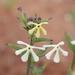 Lyperia tristis - Photo (c) Marion Maclean,  זכויות יוצרים חלקיות (CC BY-NC)