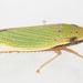 Draeculacephala balli - Photo (c) solomon hendrix, μερικά δικαιώματα διατηρούνται (CC BY-NC)