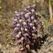 Lachenalia violacea - Photo (c) Alan Horstmann, algunos derechos reservados (CC BY-NC)