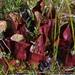 Sarracenia purpurea - Photo (c) Lada Malek, algunos derechos reservados (CC BY-NC)