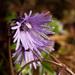Soldanella alpina - Photo (c) C. E. Timothy Paine,  זכויות יוצרים חלקיות (CC BY-NC)