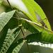 Gampsocleis ussuriensis - Photo (c) Kim, Hyun-tae, algunos derechos reservados (CC BY)