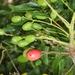 Harpephyllum caffrum - Photo (c) Tony Rebelo, algunos derechos reservados (CC BY-SA)