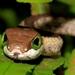 Dispholidus typus typus - Photo (c) Wynand Uys, algunos derechos reservados (CC BY)
