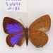 Arhopala aurea - Photo (c) Accassidy, osa oikeuksista pidätetään (CC BY)