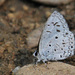 Common Hedge Blue - Photo (c) Jerry Oldenettel, some rights reserved (CC BY-NC-SA)