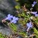 Lobelia pinifolia - Photo (c) Tony Rebelo, algunos derechos reservados (CC BY-SA)