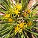 Geigeria ornativa ornativa - Photo (c) bhekisisa,  זכויות יוצרים חלקיות (CC BY-NC-ND), uploaded by Barbara Schneider