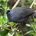North Island Kōkako - Photo (c) David Cook, some rights reserved (CC BY-NC)