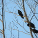 Corvus macrorhynchos levaillantii - Photo (c) Shahnoor Habib Munmun,  זכויות יוצרים חלקיות (CC BY)