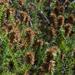 Seriphium cinereum - Photo (c) magriet b, algunos derechos reservados (CC BY-SA)
