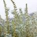 Artemisia pycnocephala - Photo (c) Ken-ichi Ueda, algunos derechos reservados (CC BY)