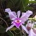 Cattleya warscewiczii - Photo (c) Ana Maria Benavides, algunos derechos reservados (CC BY-NC)