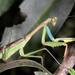 Flag Mantis - Photo (c) Wynand Uys, some rights reserved (CC BY)