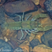 Cavespring Crayfish - Photo (c) Matthew L. Niemiller, some rights reserved (CC BY-NC)