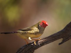 Star Finch - Photo (c) roger smith, some rights reserved (CC BY-NC)