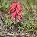 Lachenalia punctata - Photo (c) suewhitelaw, algunos derechos reservados (CC BY-NC)