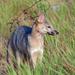 Perro de Monte - Photo (c) Josh Vandermeulen, algunos derechos reservados (CC BY-NC-ND)