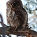 Eastern Pearl-spotted Owlet - Photo (c) Tony Rebelo, some rights reserved (CC BY-SA)