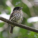 African Broadbills - Photo (c) Dave Curtis, some rights reserved (CC BY-NC-ND)