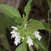 Leucas sexdentata - Photo (c) Wynand Uys, alguns direitos reservados (CC BY)