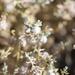 Dissocarpus fontinalis - Photo (c) Arthur Chapman, algunos derechos reservados (CC BY-NC-SA)