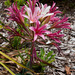 Ammocharis longifolia - Photo (c) magriet b,  זכויות יוצרים חלקיות (CC BY-SA)