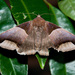 Echo Moth - Photo (c) magriet b, some rights reserved (CC BY-SA)