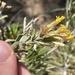 Chrysothamnus depressus - Photo (c) Bobby McCabe, alguns direitos reservados (CC BY)