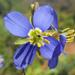 Heliophila lactea - Photo (c) pietermier, some rights reserved (CC BY-NC)