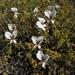 Pelargonium praemorsum praemorsum - Photo (c) pietermier, algunos derechos reservados (CC BY-NC)