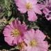 Monsonia patersonii - Photo (c) pietermier,  זכויות יוצרים חלקיות (CC BY-NC)