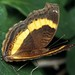 Junonia terea elgiva - Photo (c) Wynand Uys,  זכויות יוצרים חלקיות (CC BY)