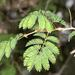 Senegalia erubescens - Photo (c) Wynand Uys, μερικά δικαιώματα διατηρούνται (CC BY)