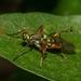 Raphiocerinae - Photo (c) Lucas Rimis, algunos derechos reservados (CC BY-NC)