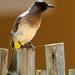 Pycnonotus barbatus layardi - Photo (c) Michael McSweeney, alguns direitos reservados (CC BY-NC)