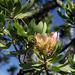 Protea roupelliae - Photo (c) Wynand Uys, algunos derechos reservados (CC BY)