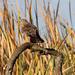 Aguilucho Lagunero Etiópico - Photo (c) Michael McSweeney, algunos derechos reservados (CC BY-NC)