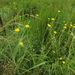 Helichrysum umbraculigerum - Photo no rights reserved