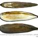 Lanceolaria acrorrhyncha - Photo (c) Kim, Hyun-tae, μερικά δικαιώματα διατηρούνται (CC BY-NC-SA)
