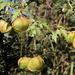 Cardiospermum halicacabum halicacabum - Photo (c) Wynand Uys, some rights reserved (CC BY)