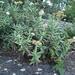 Crassula perfoliata heterotricha - Photo (c) juddkirkel, osa oikeuksista pidätetään (CC BY-NC)