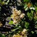 Brachylaena glabra - Photo (c) graham_g, algunos derechos reservados (CC BY-NC)